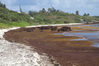 Sargassum Covering Beach Shoreline
